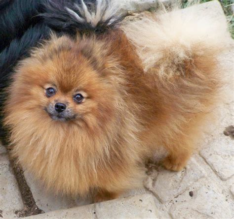 white and brown pomeranian pomeranian light brown
