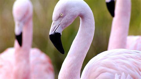 wallpaper flamingo hd flamingo hd wallpapers