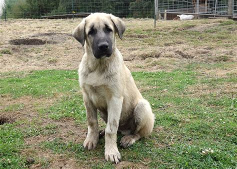 anatolian dogs anatolian shepherd puppies www pixshark images galleries with a bite