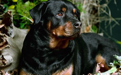 rottweiler hd pics rottweiler wallpapers hd