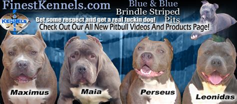 pitbull puppies for sale in san diego finest kennels los angeles california blue nose pitbulls puppies for sale with