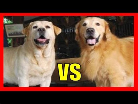 labrador retriever and golden retriever difference golden retriever vs labrador retriever 191 cu 225 l escoger