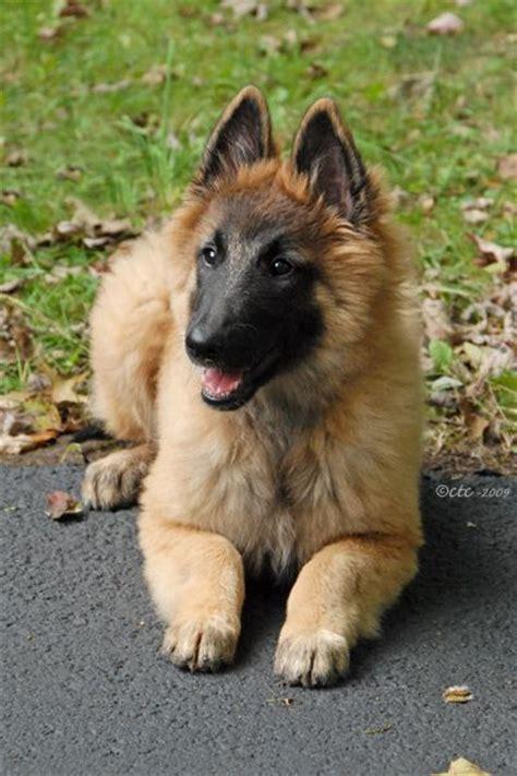 tervuren puppy 25 best ideas about belgian shepherd puppies on belgian shepherd belgian