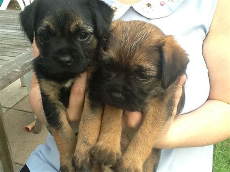 border terrier puppies for adoption border terrier puppies for sale sutton coldfield west midlands pets4homes