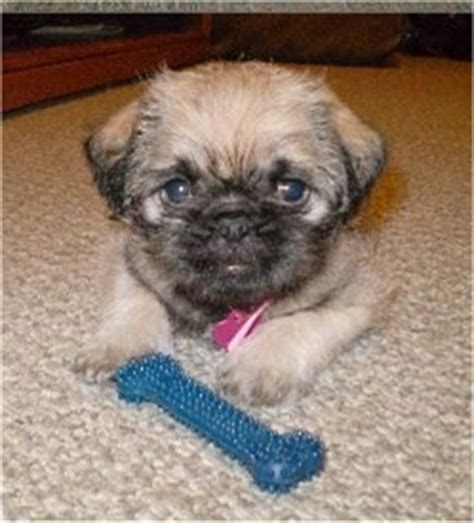 pug lhasa apso pughasa breed information and pictures