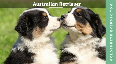 golden retriever rescue australia australian shepherd golden retriever mix www pixshark images galleries with a