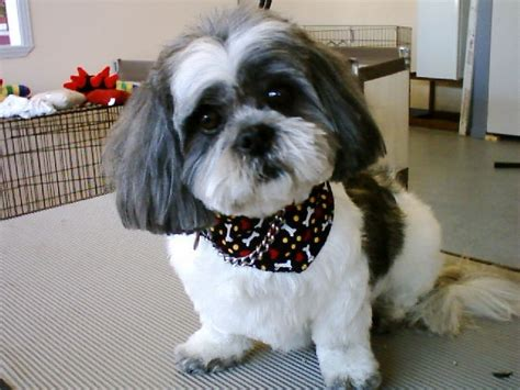 teddy shih tzu teddy cut shih tzu
