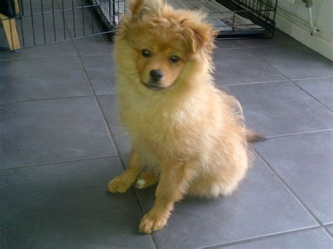 4 week pomeranian puppies pomeranian boy 16 weeks loughborough leicestershire pets4homes