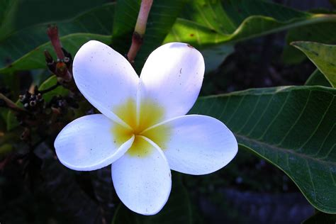 hawaiian names tropical flowers pictures and names beautiful flowers