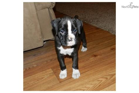 sealed boxer puppies for sale sealed brindle boxer puppies for sale breeds picture