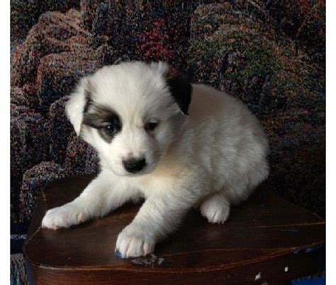 mini border collie puppies 108 best images about border collie on