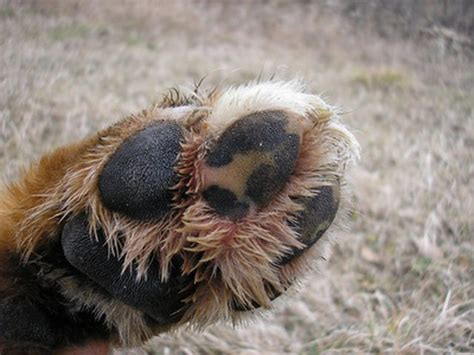 yeast in dogs yeast infections in dogs paws cuteness