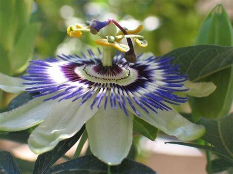 passiflora fiore della passione passiflora passiflora caerulea ricanti passiflora