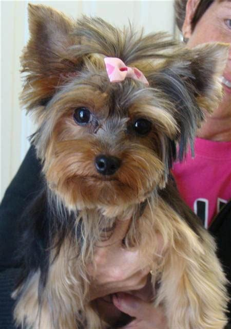yorkie hair top 35 yorkie haircuts pictures terrier haircuts