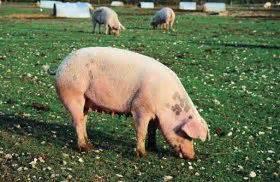 guide  heritage hog breeds
