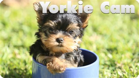 how yorkies live yorkie puppy