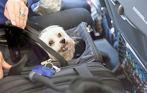 flying with an emotional support the emotional support animals play on planes pet health central
