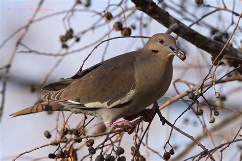 best 28 what do white winged doves eat the nature of