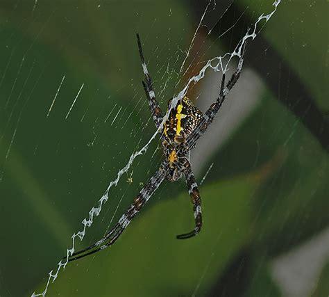 Hawaiian Garden Spider by Garden Spider On Hawai I Photo Lejun Photos At