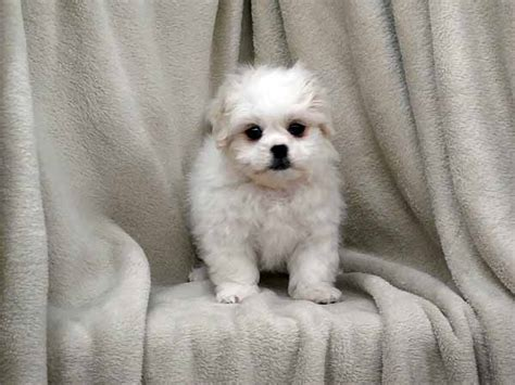 havanese cross pug 27 pekingese cross breeds you to see to believe