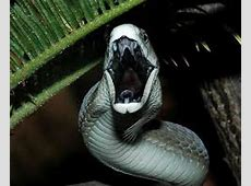10 Facts about Black Mambas | Fact File Arboreal Snakes