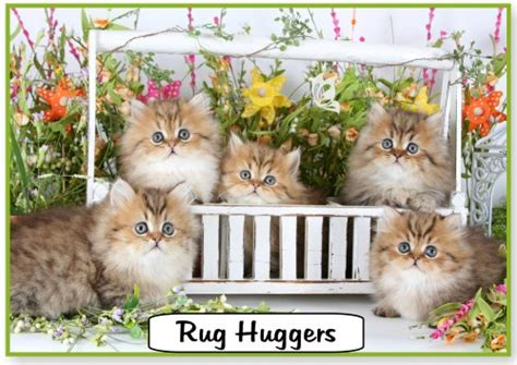 Rug Huggers For Sale Rug Hugger Persian Kittens For Rug Hugger Kittens For Sale