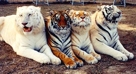 what are the different types of tigers living this is the rare golden tiger reddit repost gdgdtrip