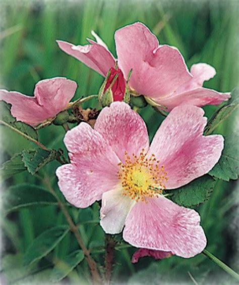 wild prairie rose iowa s state flower serious state flower wild prairie rose jamesyn discovers north
