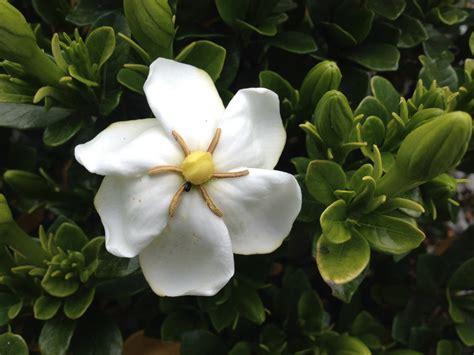 Gardenia And Gardenia Jasminoides Or Cape Fragrant Evergreen