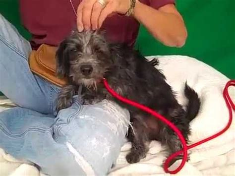 wire haired yorkie wire haired dachshund terrier mix dogs in our photo