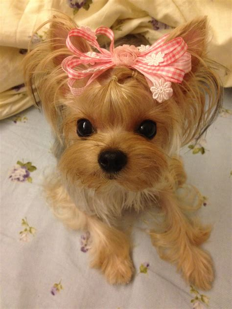 hair accessories for yorkie poos hair accessories for yorkie poos baby yorkie love cute