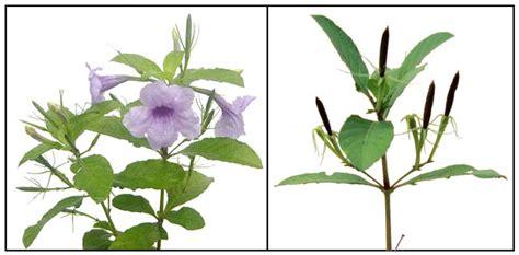 Tanaman Obat Herbal Pletekan tanaman kencana ungu pletekan sebagai obat herbal
