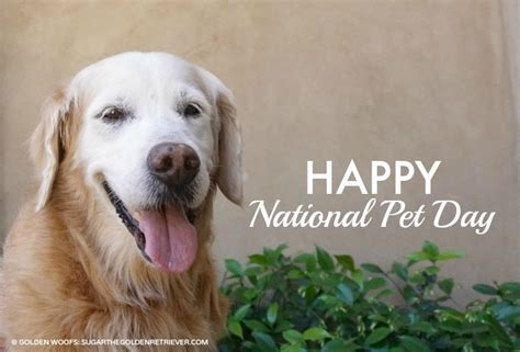 national golden retriever day national pet day america s favorite pet names golden woofs
