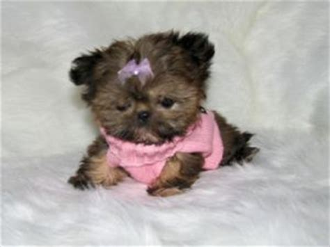teacup shih tzu puppies for sale near me shih tzu puppies in utah