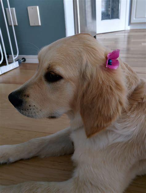 golden retriever puppy bath time golden retrievers golden retriever forums bath time