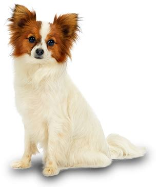 Japanese Apartment Size Papillon Small Dog Breeds Mighty Dog 174