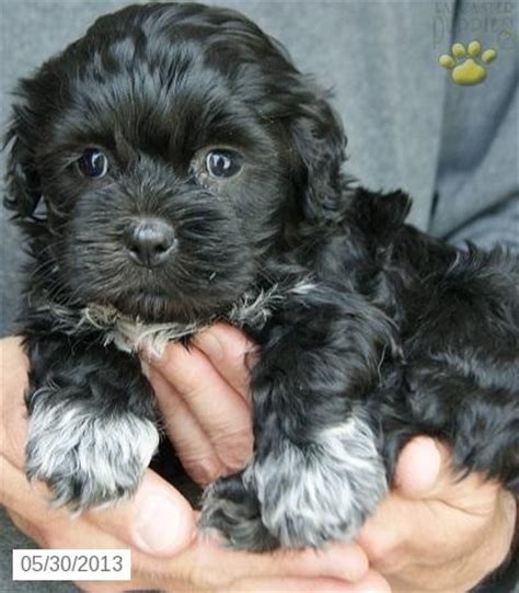 black maltipoo puppies 444 best images about maltipoo on