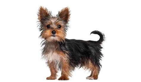 yorkie schedule home it s a yorkie