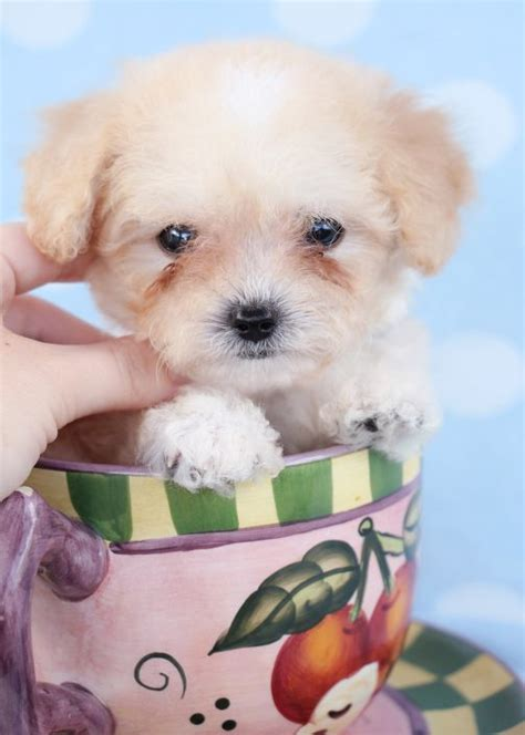 puppies ct teacup poodle breeders ct dogs our friends photo