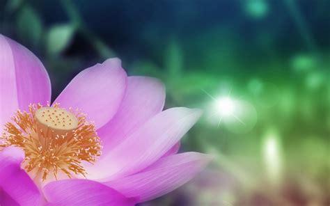 wallpaper pink lotus pink lotus wallpapers pink lotus stock photos