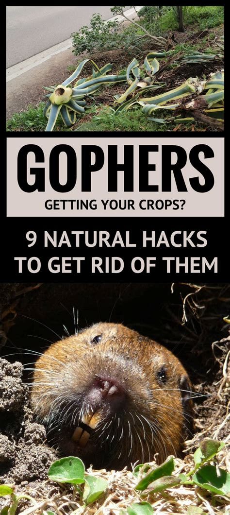 how to get rid of gophers in your backyard how to get rid of gophers in your backyard 28 images getting rid of gophers your