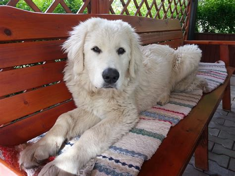 goldendoodle puppy uti does your urinary stones activ4pets india