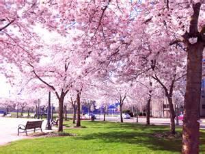 japanese blossom tree japan musings s view