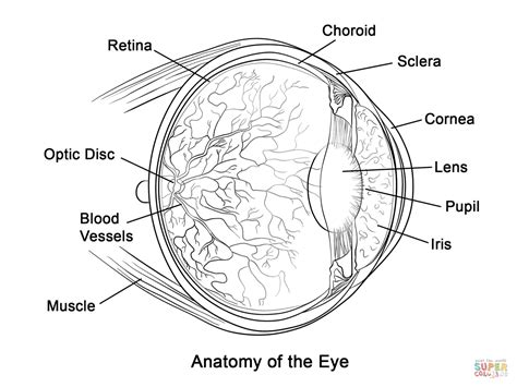 ocular anatomy coloring book human eye anatomy coloring page free printable coloring