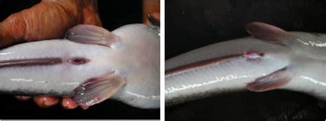 Ciri Fisik Bibit Lele Sangkuriang budidaya perikanan nusantara pembenihan ikan lele sangkuriang