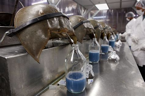 what color is horseshoe crab blood the saving animal blood worth 60 000 per gallon and