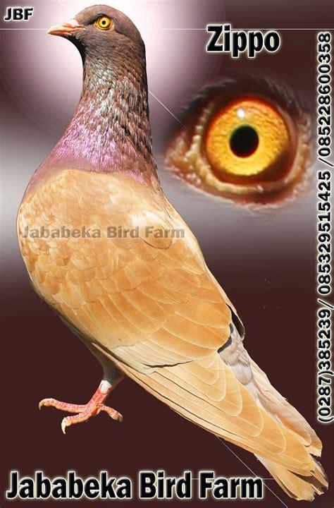 Burung Merpati Medium Artificial 0287 382807 085228600358 085329515425 burung merpati di pelanggan pak b bogor jawa barat