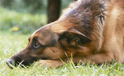 best house guard dog better than a gun the secret to finding the best guard dog for your home off the
