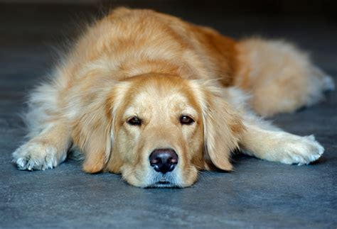 how much should my golden retriever puppy weigh pictures of golden retriever puppies www pixshark