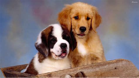 st bernard golden retriever puppies it takes two st bernard and golden retriever wallpaper